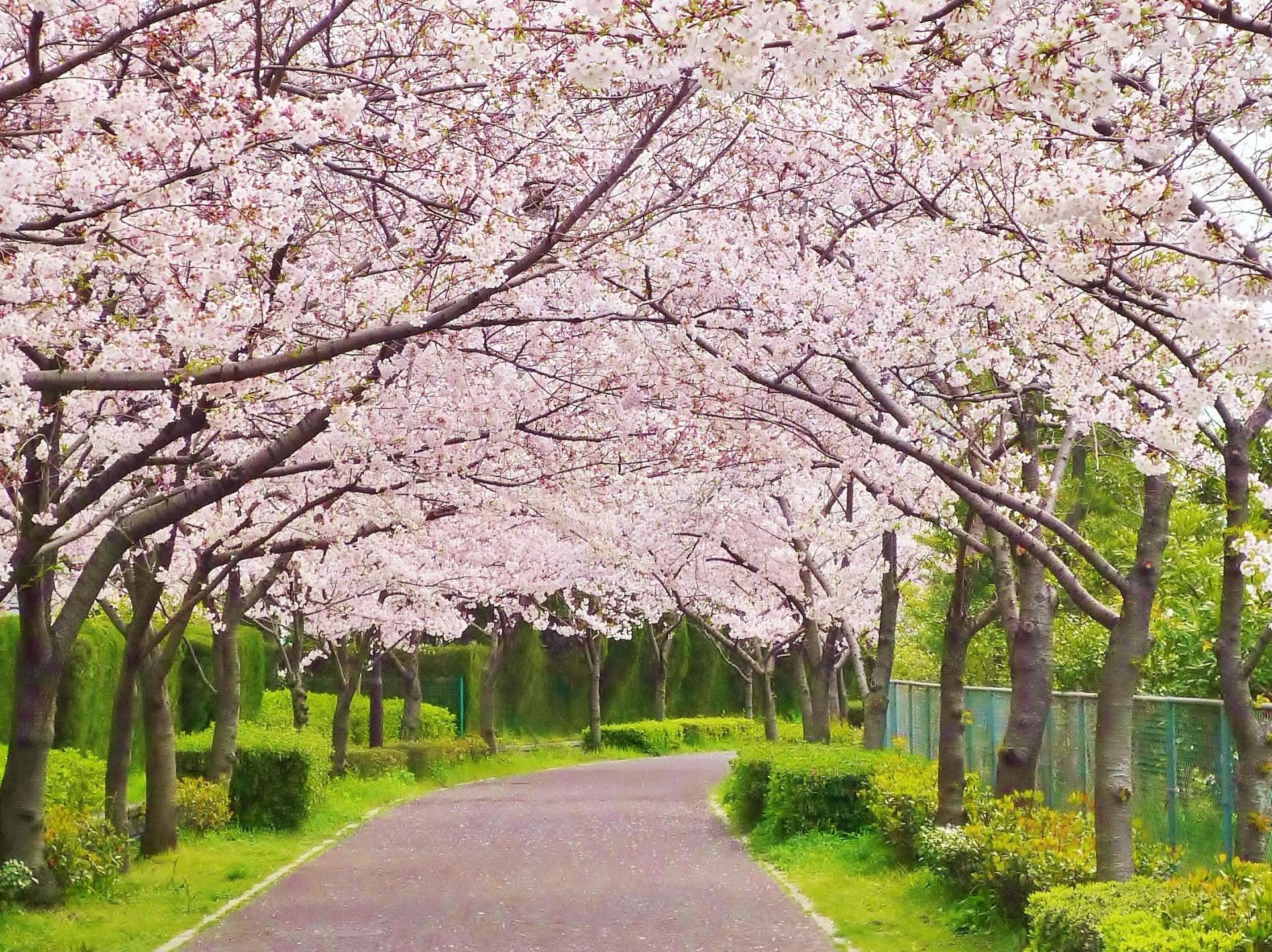 農試公園の桜